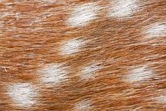 Macrofoto van textuur van bevlekt hertenbont stock foto