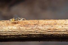 Macrofoto van Uiterst klein Ant Carrying Pupae en het Lopen op Stok royalty-vrije stock afbeeldingen