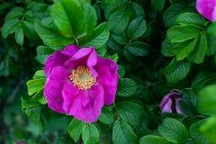 Macrofotoaard die dogrose bloeien De achtergrondtextuur van roze rozebottel ontluikt bloemen Een beeld van een bloeiende hond van stock afbeelding