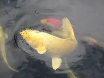 Macrofotoachtergrond met decoratieve de tuinvijver van het vissenwater Royalty-vrije Stock Fotografie