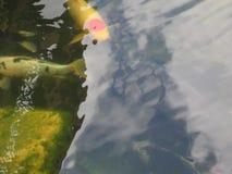 Macrofotoachtergrond met decoratieve de tuinvijver van het vissenwater Stock Afbeeldingen