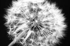 Macrofotografia in bianco e nero del dente di leone come fondo fotografia stock libera da diritti