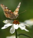 Macrofotografia della farfalla Immagine Stock Libera da Diritti
