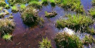 Macrofotografia della palude vergine con acqua trasparente Fotografie Stock Libere da Diritti