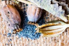 Macrofotografia delle teste del papavero e dei semi di papavero Immagine Stock Libera da Diritti