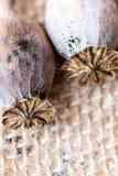 Macrofotografia delle teste del papavero e dei semi di papavero Immagine Stock