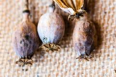 Macrofotografia delle teste del papavero e dei semi di papavero Fotografia Stock