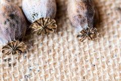 Macrofotografia delle teste del papavero e dei semi di papavero Fotografia Stock Libera da Diritti