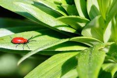 Macrofotografia di piccolo insetto, piccolo scarabeo Immagini Stock Libere da Diritti