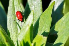 Macrofotografia di piccolo insetto, piccolo scarabeo Immagine Stock Libera da Diritti