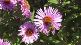 Macrofotografia di un'ape che raccoglie polline su un fiore video d archivio