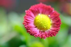 Macrofotografia di un fiore rosso Fotografia Stock Libera da Diritti