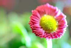 Macrofotografia di un fiore rosso Immagine Stock
