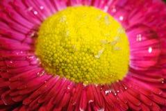 Macrofotografia di un fiore rosso Fotografia Stock