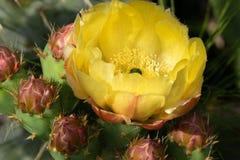 Macrofotografia di un fiore selvaggio - opuntia ficus indica Fotografie Stock