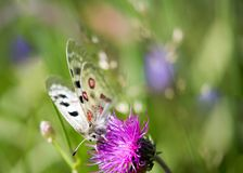 Macrofotografia di una farfalla - Parnassius Apollo Fotografie Stock