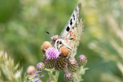 Macrofotografia di una farfalla - Parnassius Apollo Fotografia Stock Libera da Diritti