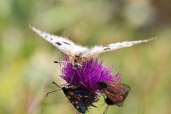 Macrofotografia di una farfalla - Parnassius Apollo Fotografia Stock