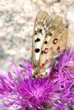 Macrofotografia di una farfalla - sacerdos di Parnassius Immagine Stock Libera da Diritti