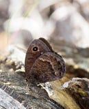 Macrofotografia di una ferula di Satyrus della farfalla Fotografia Stock