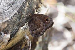 Macrofotografia di una ferula di Satyrus della farfalla Fotografie Stock Libere da Diritti