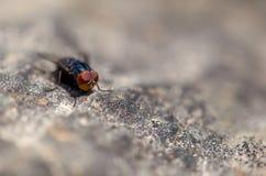 Macrofotografia di una mosca blu su una roccia dalla cima fotografia stock