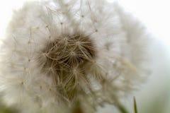 Macrofotografia di una testa del seme del dente di leone fotografie stock libere da diritti