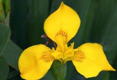 Macrofotografia di uno pseudacorus dell'iride del fiore selvaggio Fotografia Stock Libera da Diritti