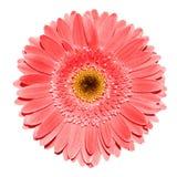 Macrofotografia rossa del fiore della gerbera isolata fotografia stock