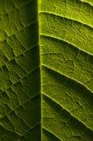 Macrofotografie van groen blad, organische groene bladtextuur Royalty-vrije Stock Foto
