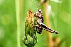 Macrofotografie van Sprinkhaan op blad op het gebied, Sprinkhaan een installatie-etend insect met lange achterste benen die voor  stock foto