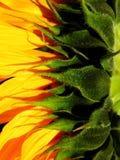Macrofotografie van zonnebloem Royalty-vrije Stock Foto's