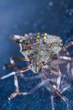 Macrofotography de los halys marrones de Halyomorpha de la chinche hedionda, una especie invasor de Asia imagen de archivo