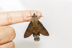 Macroglossum sitiene moth hanging on finger Stock Photo