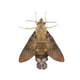 Macroglossum sitiene moth on white Royalty Free Stock Photography