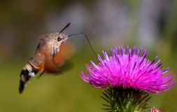 Macroglossum stellatarum. Butterfly and a flower Stock Photos