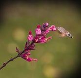 奇怪的昆虫,哺养在花的Macroglossum stellatarum 免版税库存图片