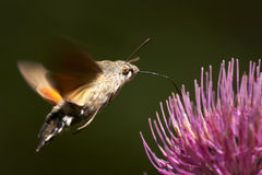 Macroglossum stellatarum Stock Photo