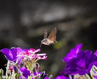 Strange insect, Macroglossum stellatarum feeding on flowers Royalty Free Stock Images