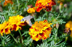 Macroglossum stellatarum on flower Royalty Free Stock Image