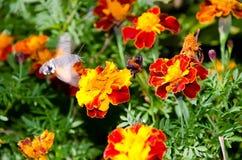 Macroglossum stellatarum on flower Stock Photo