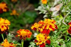 Macroglossum stellatarum on flower Royalty Free Stock Photo