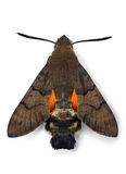 Macroglossum stellatarum hawk-moth Royalty Free Stock Photos