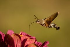 Macroglossum stellatarum Royalty Free Stock Photography