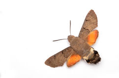 Macroglossum Stellatarum, Hummingbird Hawk-moth Royalty Free Stock Images