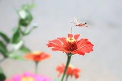 Macroglossum stellatarum, Hummingbird ćma Zdjęcie Stock