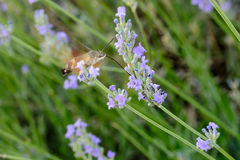 Macroglossum stellatarum porcellus. Bumblebee hovering in Lavender Stock Photography