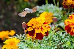 Macroglossumstellatarum op bloem Stock Fotografie