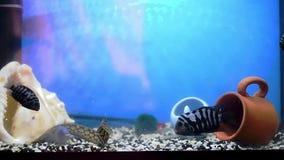 Macrognathus ed il cichlasoma nero-a strisce hanno unito la lotta per alimento Pesce predatore d'alimentazione acquari archivi video