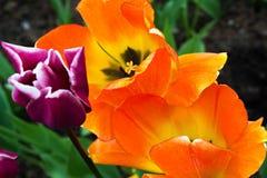 Macrography av ljusa guling-apelsin och violettulpan Arkivfoto
